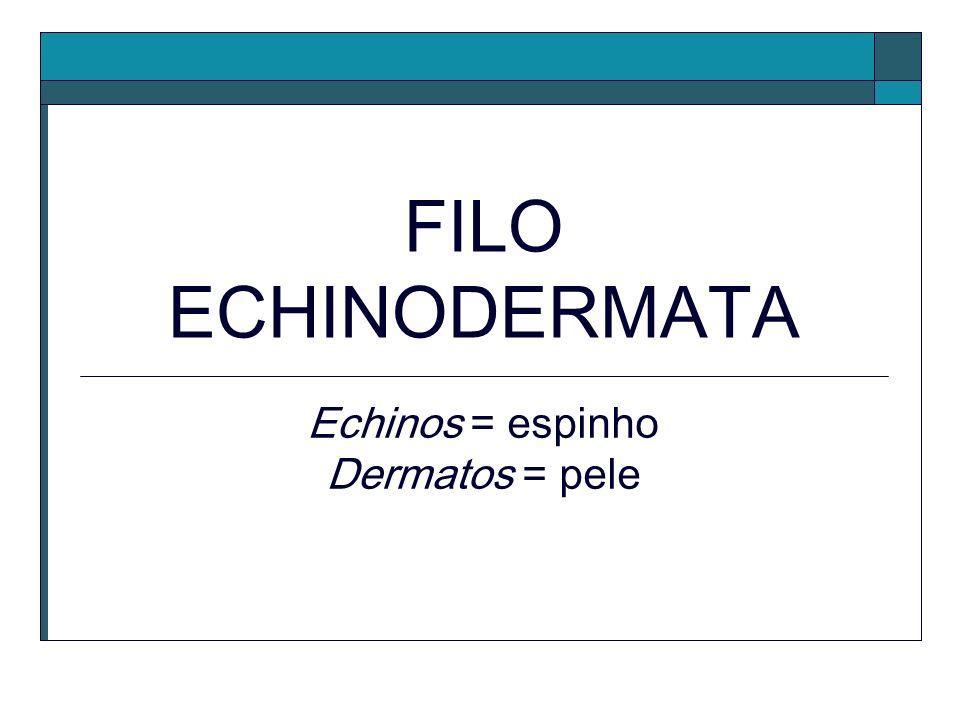 FILO ECHINODERMATA Echinos = espinho Dermatos = pele