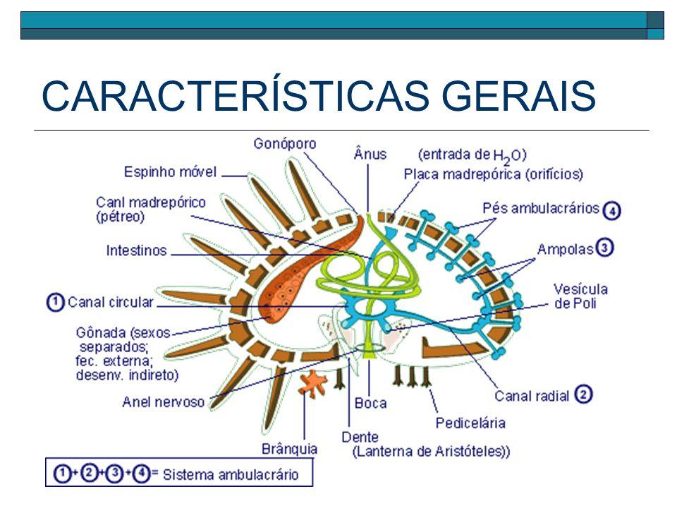 CARACTERÍSTICAS GERAIS Sistema hidrovascular ou sistema ambulacrário Pés ambulacrais Canal radial Canal circular Placa Madrepórica Ampolas Contráteis