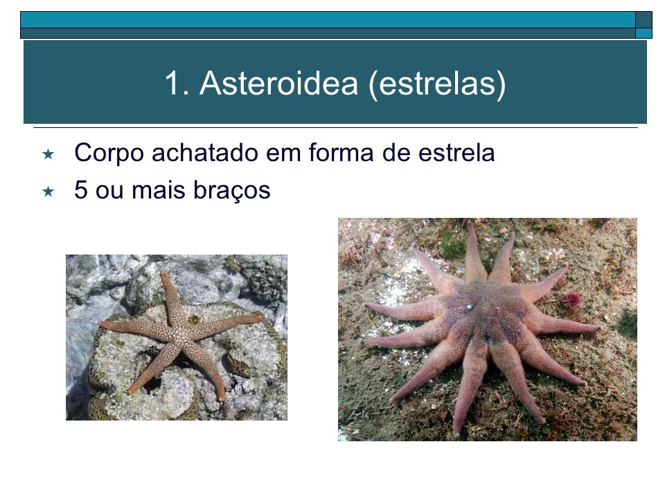 CLASSIFICAÇÃO Asteroidea (estrelas-do-mar) Echinoidea (ouriços-do-mar e bolachas-da-praia) Holothuroidea (pepinos-do-mar) Crinoidea (lírios-do-mar) Op