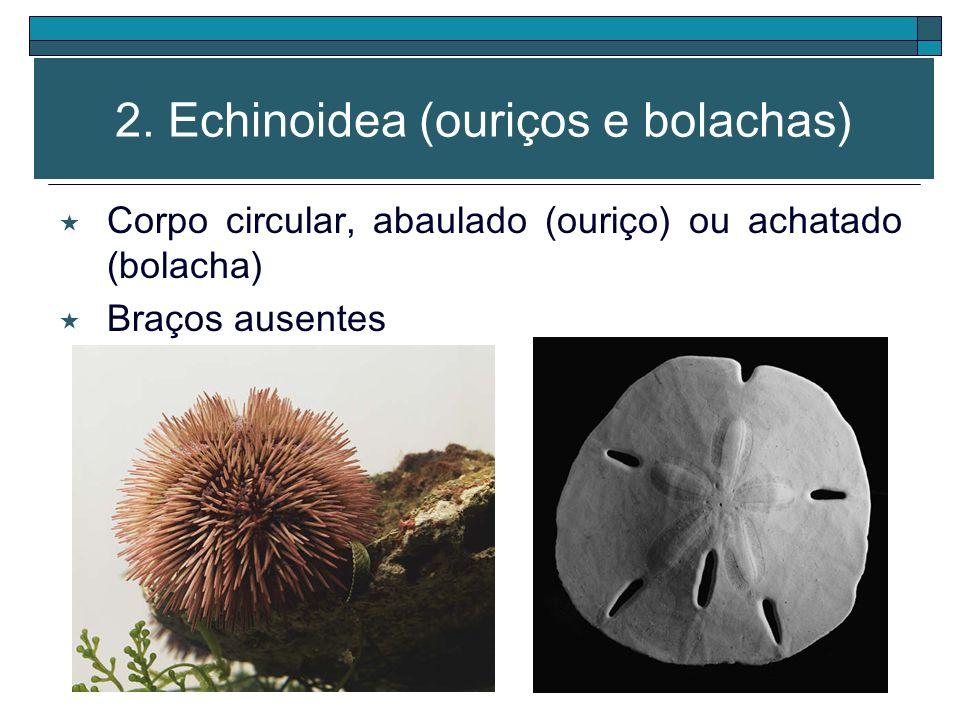 Boca e pés ambulacrários (região oral) Ânus (região aboral) Predadores moluscos, crustáceos, anelídeos 1. Asteroidea (estrelas)