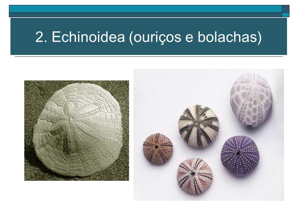 Corpo circular, abaulado (ouriço) ou achatado (bolacha) Braços ausentes 2. Echinoidea (ouriços e bolachas)