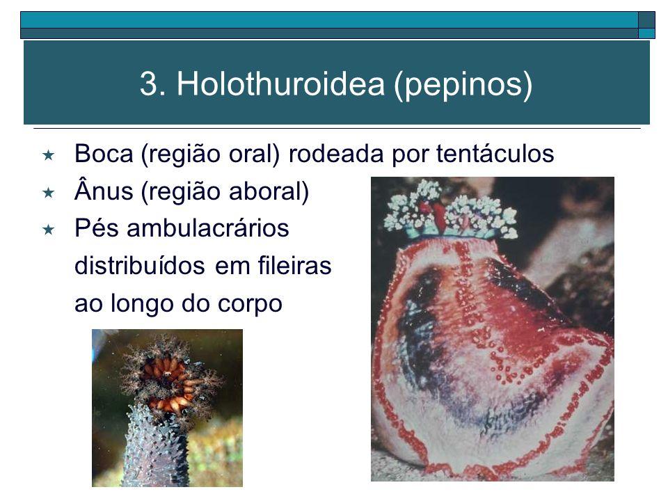 3. Holothuroidea (pepinos) Corpo alongado e macio* Braços ausentes