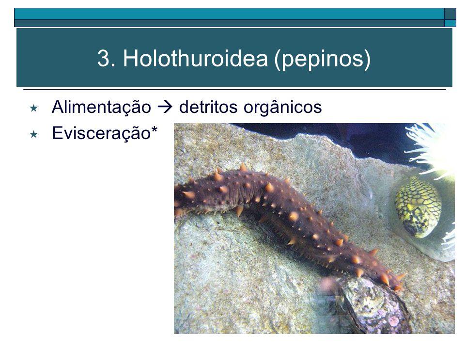 3. Holothuroidea (pepinos) Boca (região oral) rodeada por tentáculos Ânus (região aboral) Pés ambulacrários distribuídos em fileiras ao longo do corpo