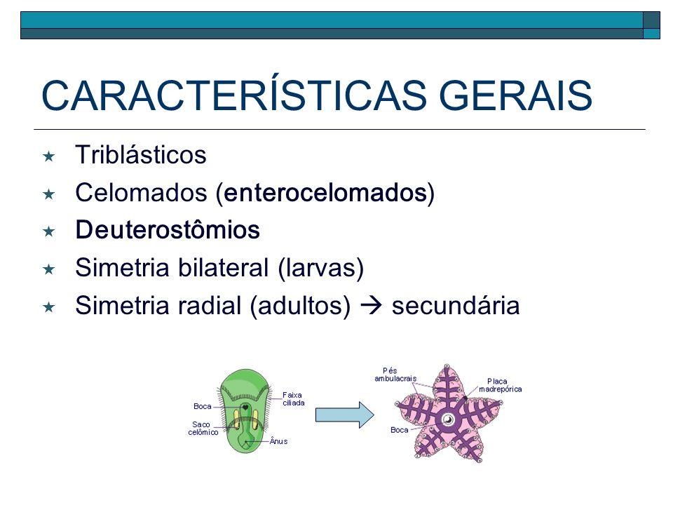 CARACTERÍSTICAS GERAIS Triblásticos Celomados (enterocelomados) Deuterostômios Simetria bilateral (larvas) Simetria radial (adultos) secundária
