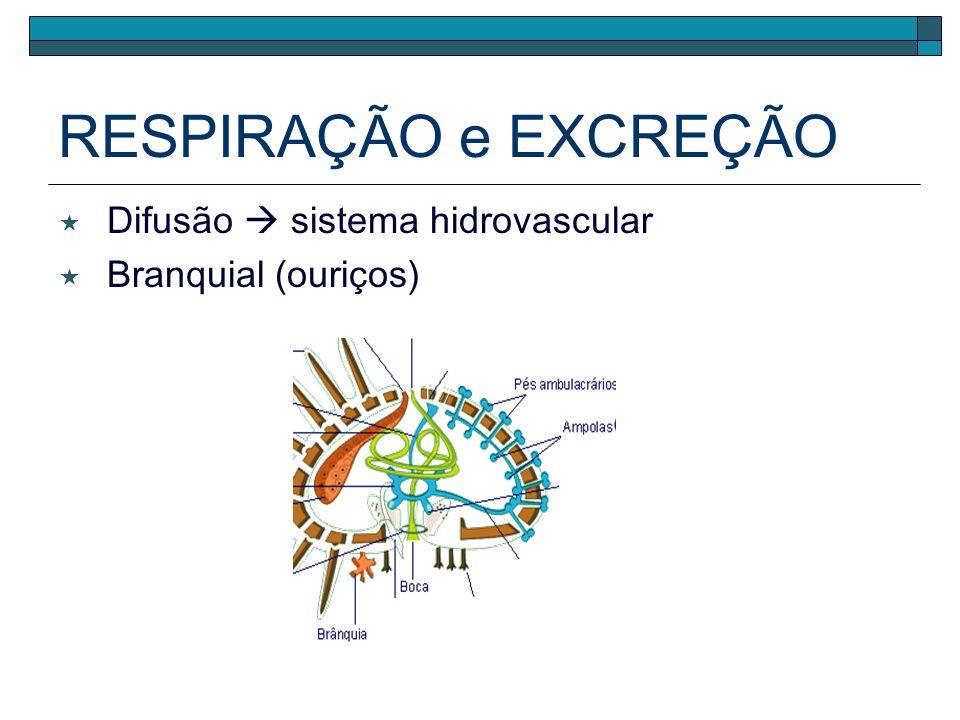 CIRCULAÇÃO Sistema circulatório ausente a água que circula pelo sistema hidrovascular é responsável pela distribuição de nutrientes e gases respiratór