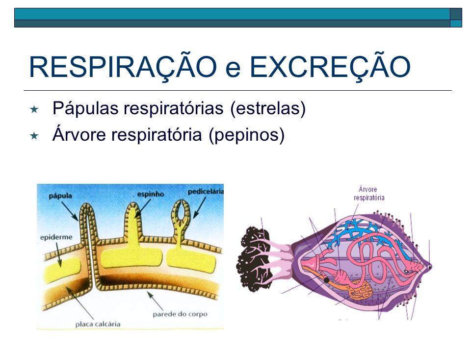 RESPIRAÇÃO e EXCREÇÃO Difusão sistema hidrovascular Branquial (ouriços)