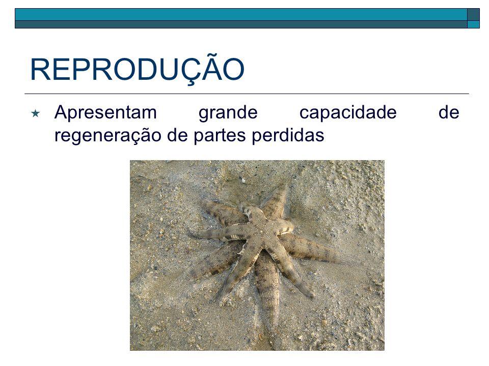 REPRODUÇÃO Desenvolvimento indireto* larva simetria bilateral planctônica