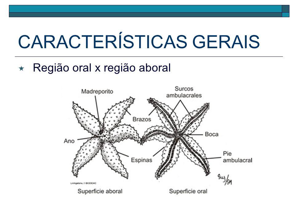 Região oral x região aboral CARACTERÍSTICAS GERAIS