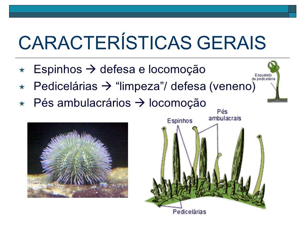 CARACTERÍSTICAS GERAIS Espinhos defesa e locomoção Pedicelárias limpeza/ defesa (veneno) Pés ambulacrários locomoção