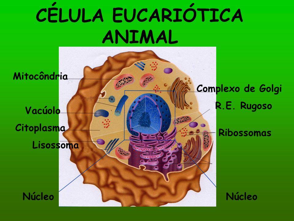 CÉLULA EUCARIÓTICA ANIMAL Complexo de Golgi R.E. Rugoso Mitocôndria Ribossomas Lisossoma Vacúolo Citoplasma Núcleo
