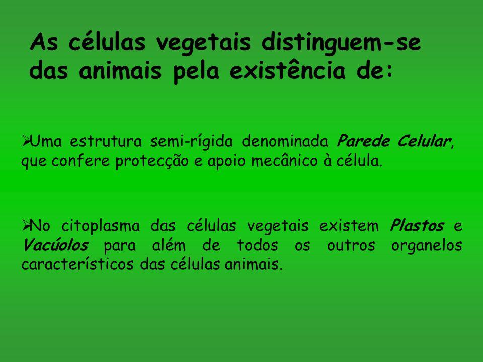 As células vegetais distinguem-se das animais pela existência de: Uma estrutura semi-rígida denominada Parede Celular, que confere protecção e apoio m
