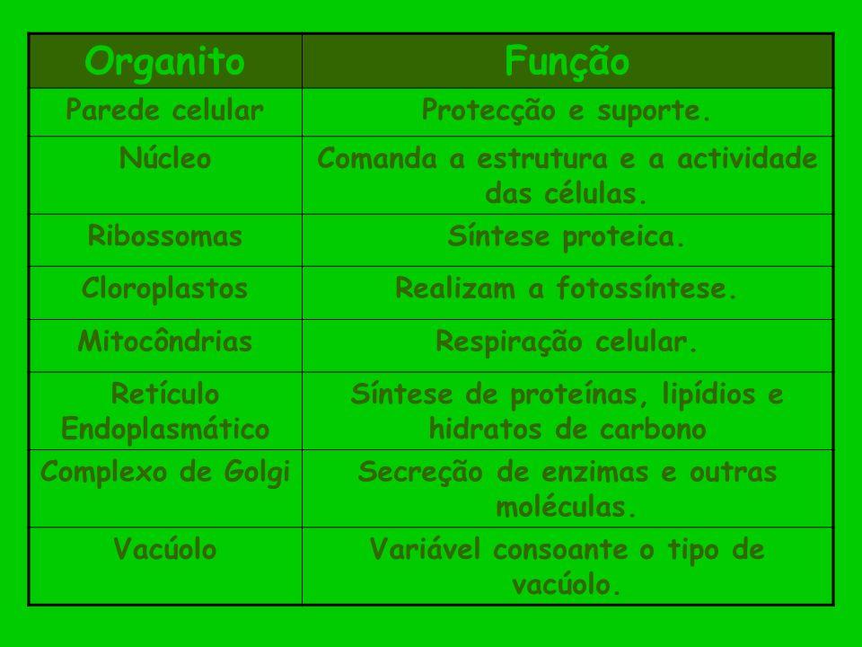 OrganitoFunção Parede celularProtecção e suporte. NúcleoComanda a estrutura e a actividade das células. RibossomasSíntese proteica. CloroplastosRealiz