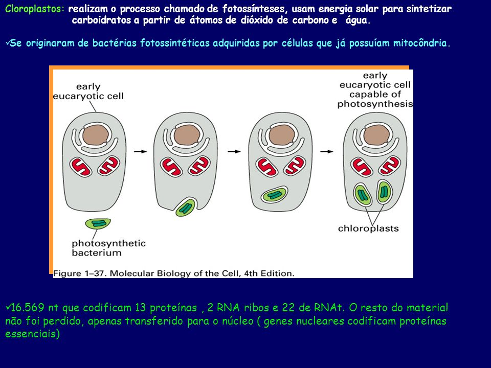 Cloroplastos: realizam o processo chamado de fotossínteses, usam energia solar para sintetizar carboidratos a partir de átomos de dióxido de carbono e