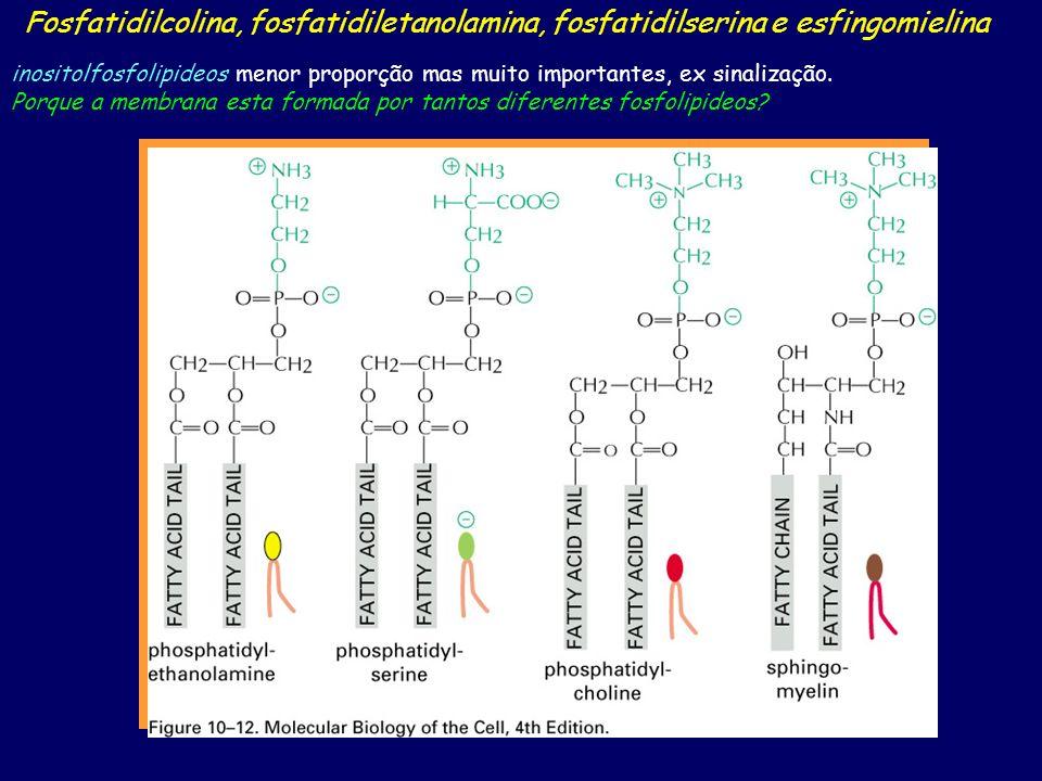 Fosfatidilcolina, fosfatidiletanolamina, fosfatidilserina e esfingomielina inositolfosfolipideos menor proporção mas muito importantes, ex sinalização.