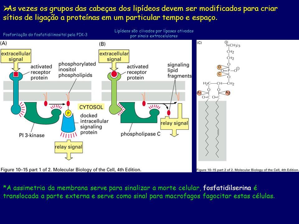As vezes os grupos das cabeças dos lipídeos devem ser modificados para criar sítios de ligação a proteínas em um particular tempo e espaço. Fosforilaç