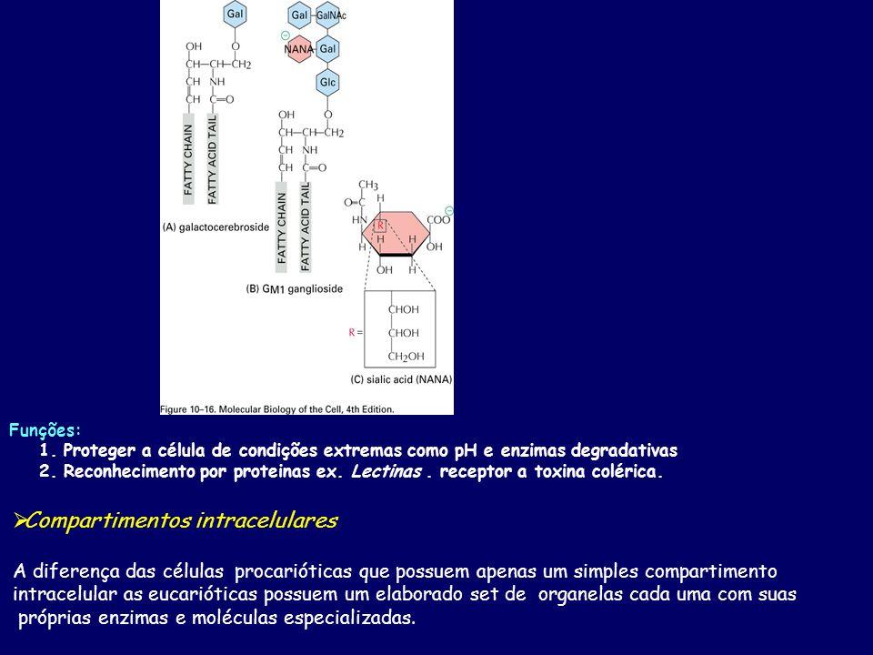 Funções: 1. Proteger a célula de condições extremas como pH e enzimas degradativas 2. Reconhecimento por proteinas ex. Lectinas. receptor a toxina col