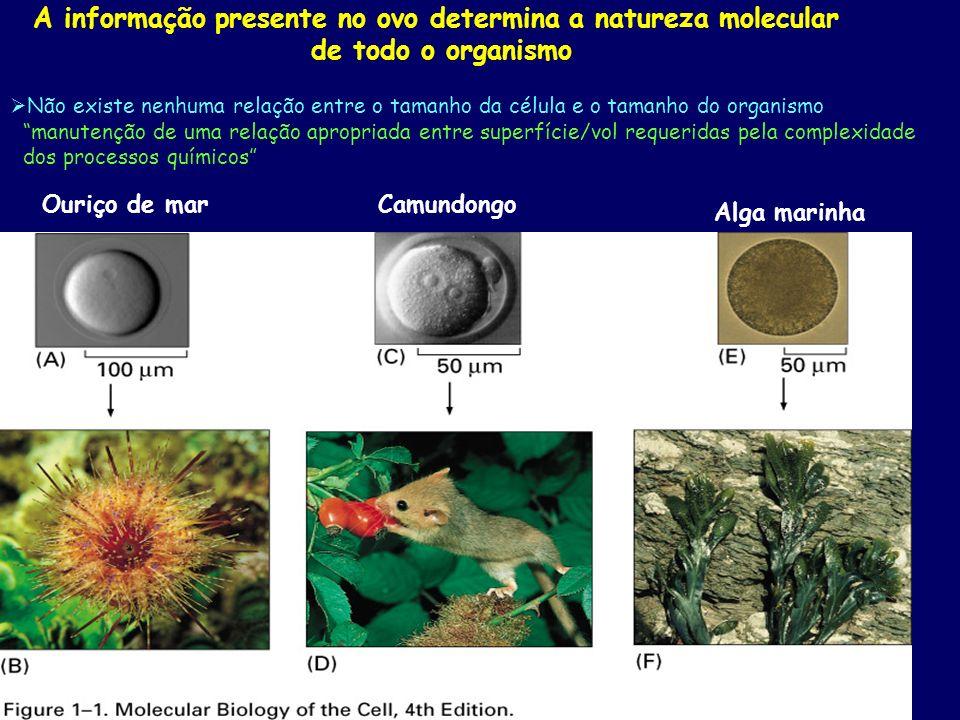 A informação presente no ovo determina a natureza molecular de todo o organismo Ouriço de marCamundongo Alga marinha Não existe nenhuma relação entre o tamanho da célula e o tamanho do organismo manutenção de uma relação apropriada entre superfície/vol requeridas pela complexidade dos processos químicos