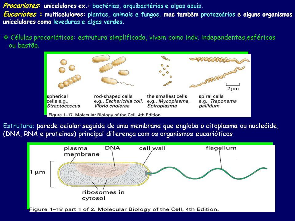 Procariotes: unicelulares ex.: bactérias, arquibactérias e algas azuis. Eucariotes : multicelulares: plantas, animais e fungos, mas também protozoário