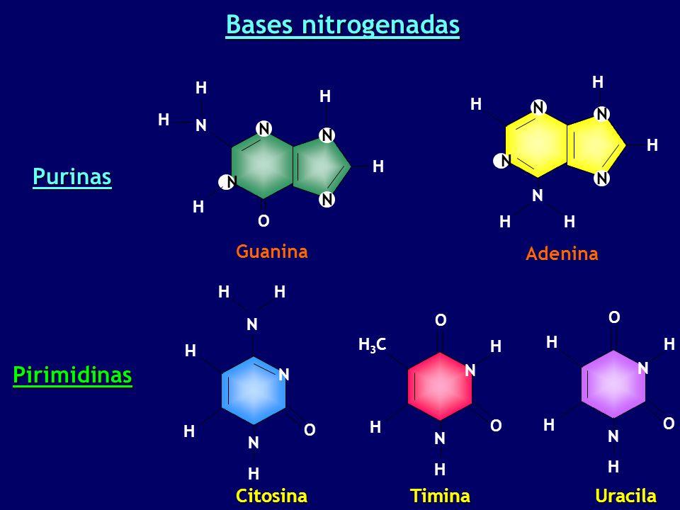 Bases nitrogenadas Citosina H H N H O N N H H H N H O O N H3CH3C H Timina Guanina O N N N H N N H H H H Purinas Pirimidinas Adenina N H N H N H N N H H H N H O O N H H Uracila