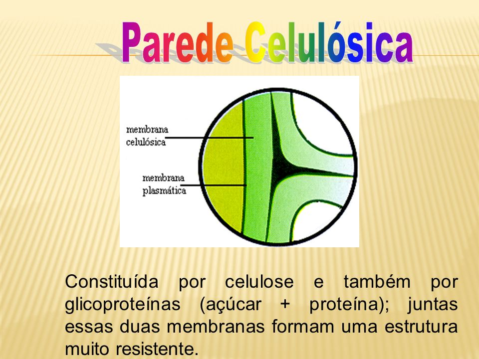 Constituída por celulose e também por glicoproteínas (açúcar + proteína); juntas essas duas membranas formam uma estrutura muito resistente.