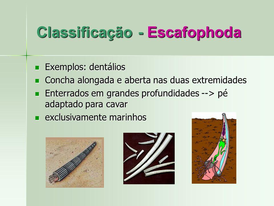 Classificação - Escafophoda Exemplos: dentálios Exemplos: dentálios Concha alongada e aberta nas duas extremidades Concha alongada e aberta nas duas e