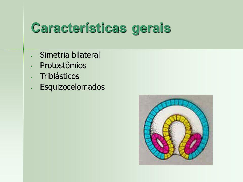 Características gerais Simetria bilateral Protostômios Triblásticos Esquizocelomados