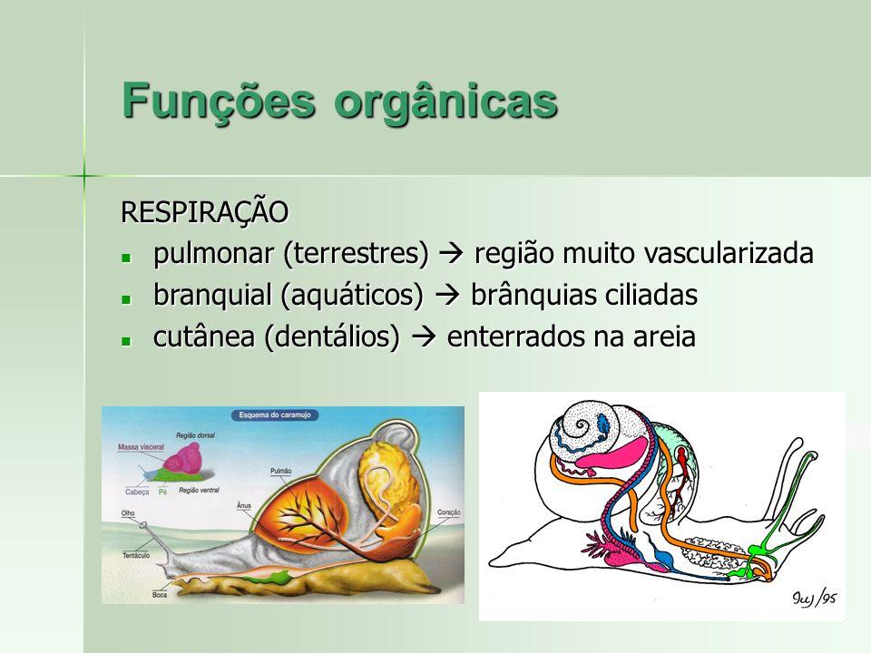 Funções orgânicas RESPIRAÇÃO pulmonar (terrestres) região muito vascularizada pulmonar (terrestres) região muito vascularizada branquial (aquáticos) b