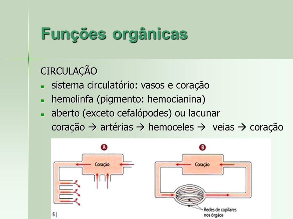 CIRCULAÇÃO sistema circulatório: vasos e coração sistema circulatório: vasos e coração hemolinfa (pigmento: hemocianina) hemolinfa (pigmento: hemocian