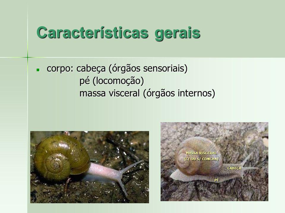 corpo: cabeça (órgãos sensoriais) corpo: cabeça (órgãos sensoriais) pé (locomoção) pé (locomoção) massa visceral (órgãos internos) massa visceral (órg