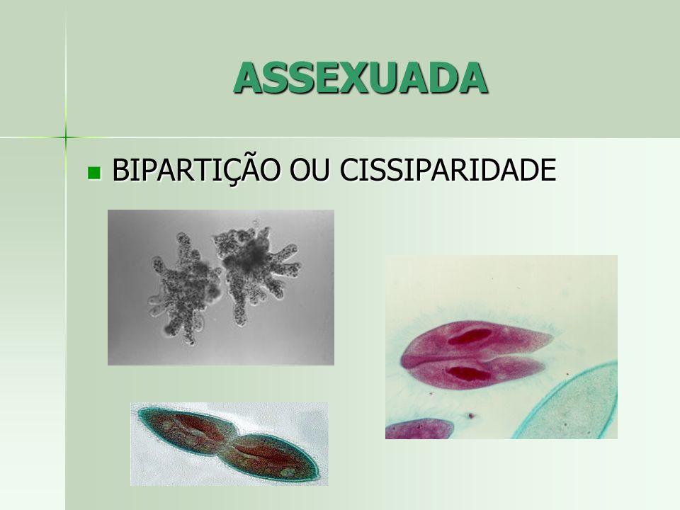 ASSEXUADA BIPARTIÇÃO OU CISSIPARIDADE BIPARTIÇÃO OU CISSIPARIDADE