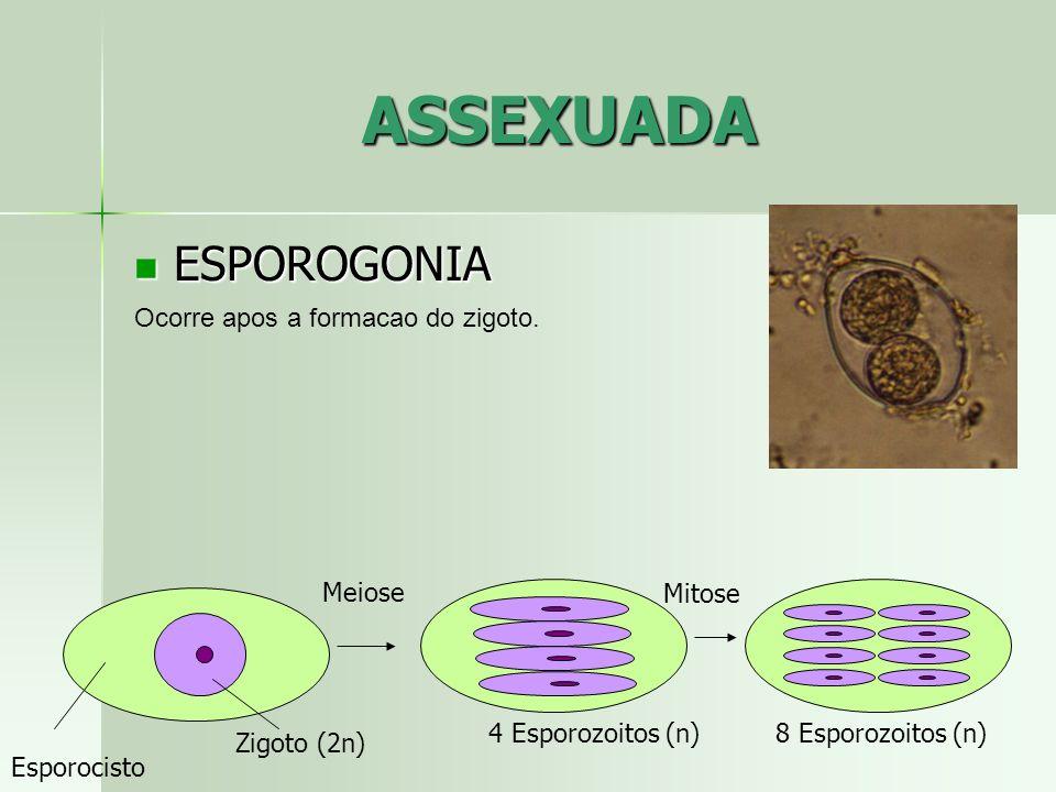 ASSEXUADA ESPOROGONIA ESPOROGONIA Ocorre apos a formacao do zigoto. Esporocisto Zigoto (2n) 4 Esporozoitos (n) Meiose Mitose 8 Esporozoitos (n)