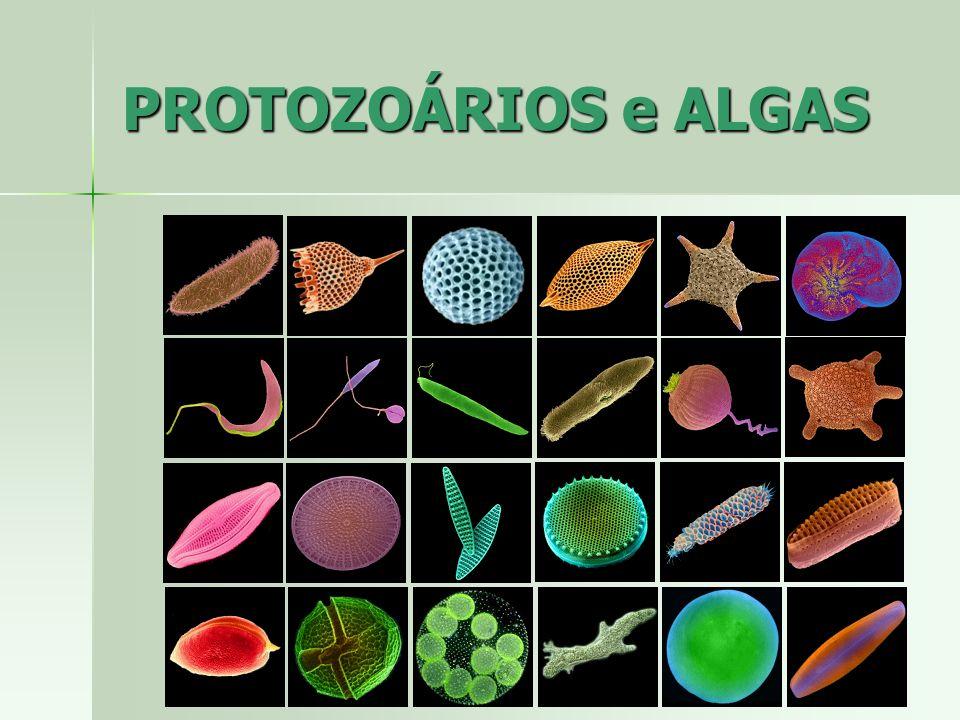 Características gerais Características gerais –Diatomáceas (plâncton marinho) –Fotossíntese (fitoplâncton) alguns heterótrofos –Locomoção por deslizamento –Reprodução assexuada por divisão binária ou sexuada por formação de gameta Filo Bacillariophyta