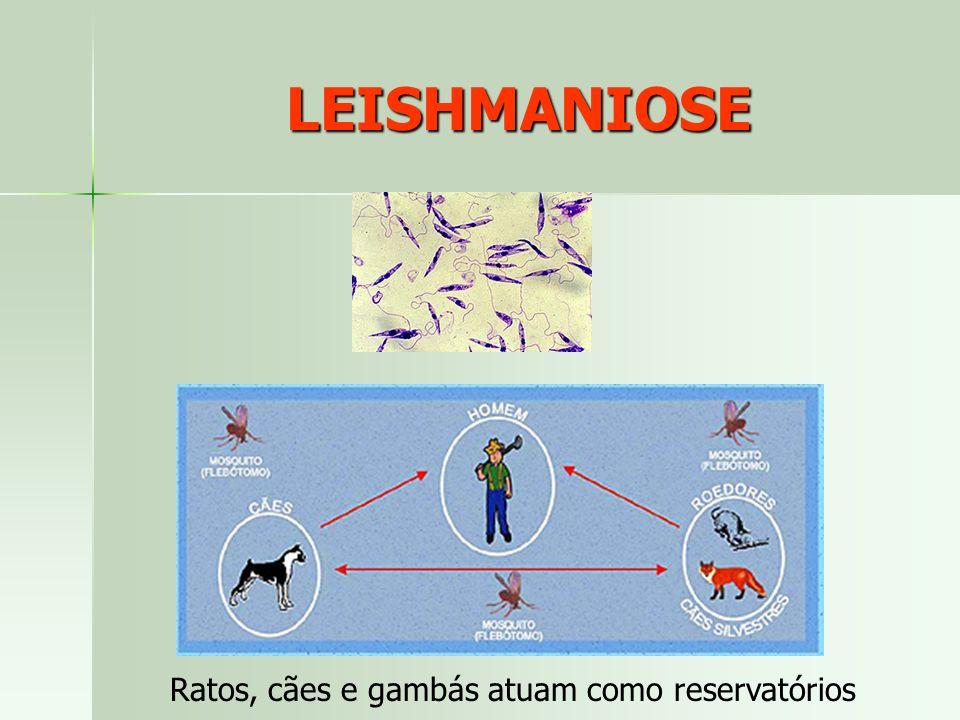 LEISHMANIOSE Ratos, cães e gambás atuam como reservatórios