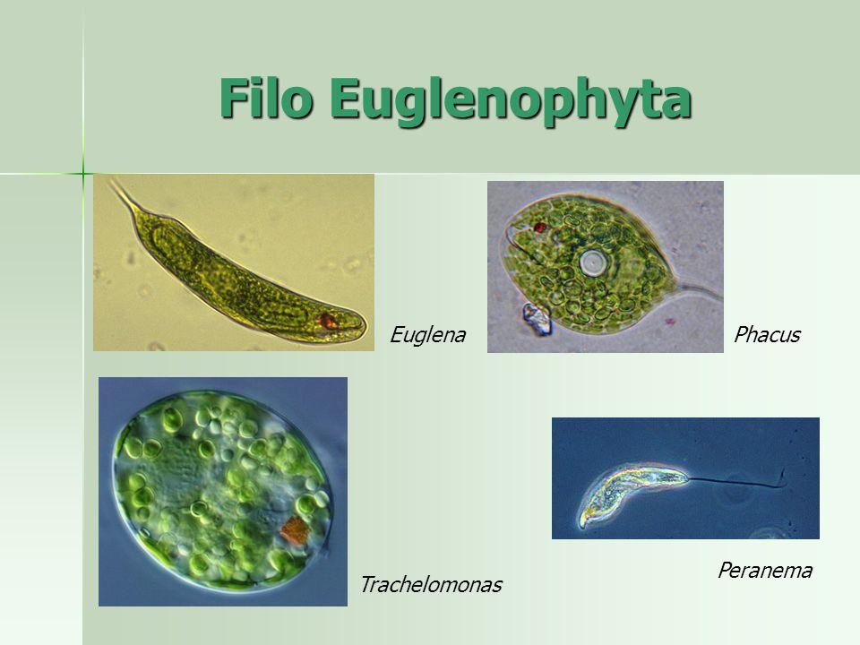 Filo Euglenophyta EuglenaPhacus Peranema Trachelomonas