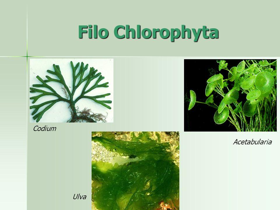 Ulva Codium Filo Chlorophyta Acetabularia