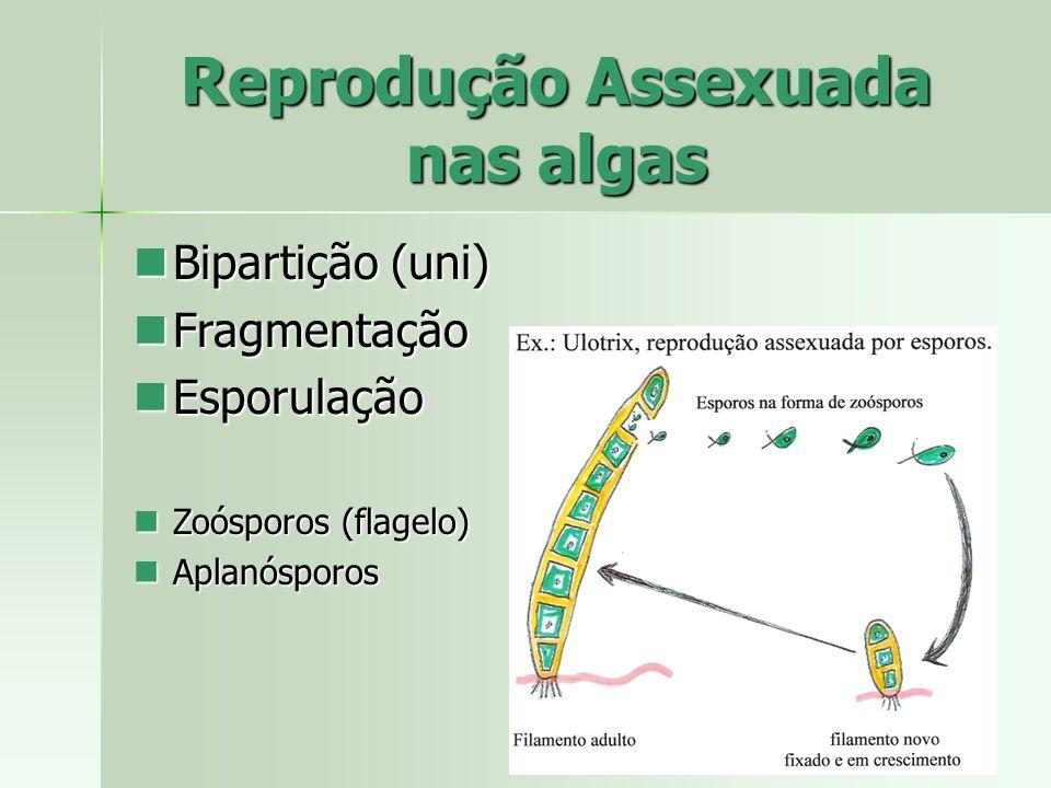 Reprodução Assexuada nas algas Bipartição (uni) Bipartição (uni) Fragmentação Fragmentação Esporulação Esporulação Zoósporos (flagelo) Zoósporos (flag