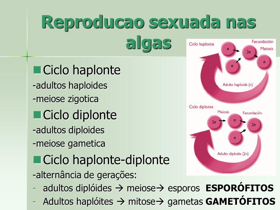 Reproducao sexuada nas algas Ciclo haplonte Ciclo haplonte -adultos haploides -meiose zigotica Ciclo diplonte Ciclo diplonte -adultos diploides -meios