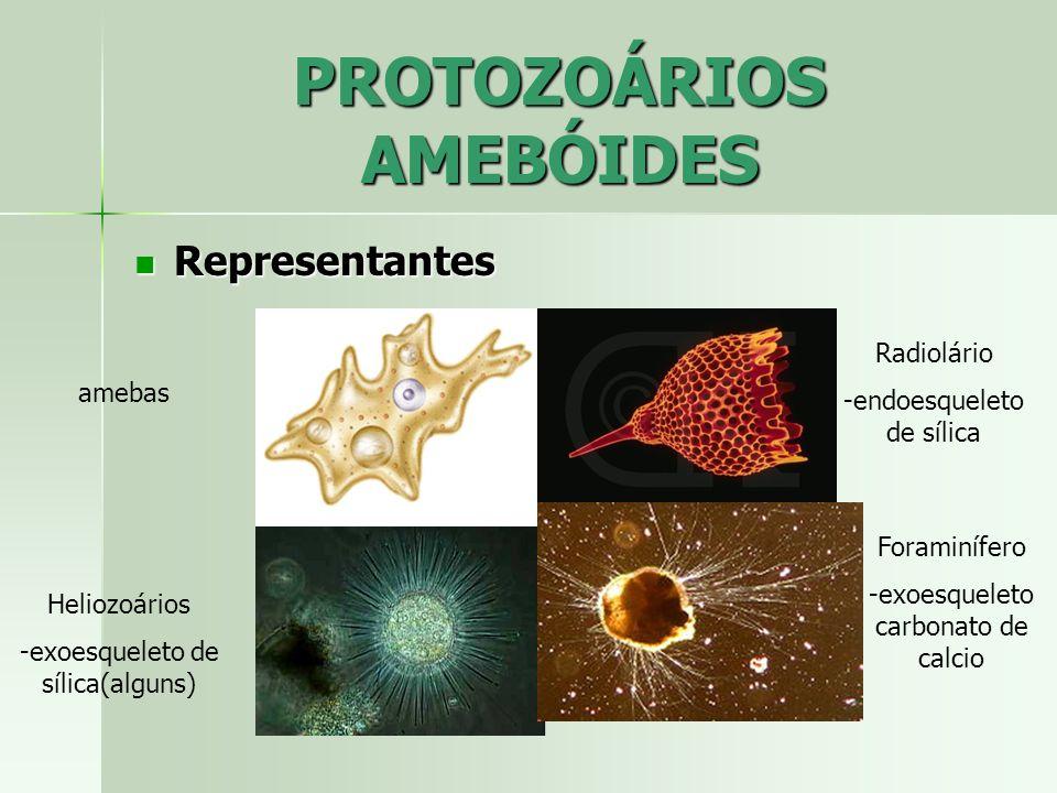 PROTOZOÁRIOS AMEBÓIDES Representantes Representantes amebas Heliozoários -exoesqueleto de sílica(alguns) Radiolário -endoesqueleto de sílica Foraminíf