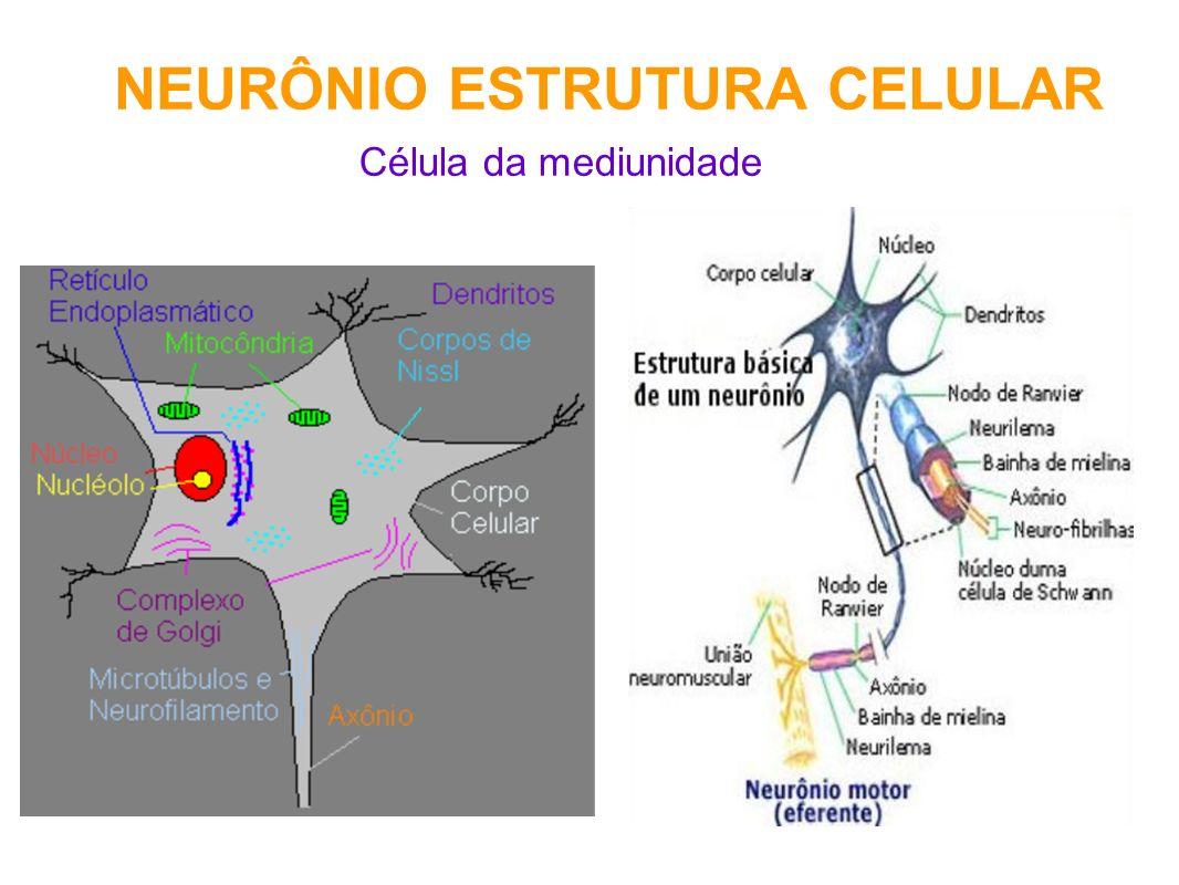 NEURÔNIO ESTRUTURA CELULAR Célula da mediunidade