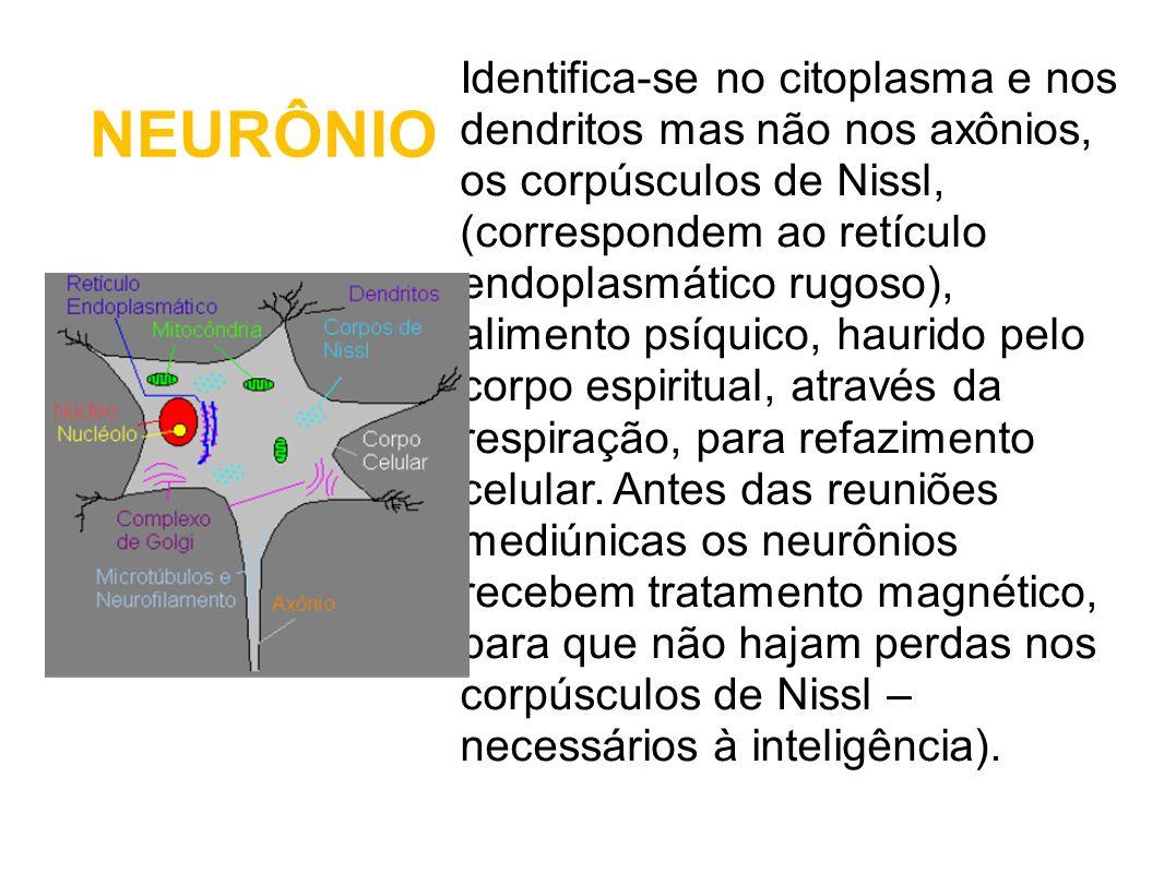 NEURÔNIO Identifica-se no citoplasma e nos dendritos mas não nos axônios, os corpúsculos de Nissl, (correspondem ao retículo endoplasmático rugoso), a