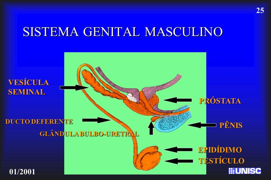 25 01/2001 SISTEMA GENITAL MASCULINO TESTÍCULO EPIDÍDIMO DUCTO DEFERENTE VESÍCULASEMINAL PRÓSTATA PÊNIS GLÂNDULA BULBO-URETRAL