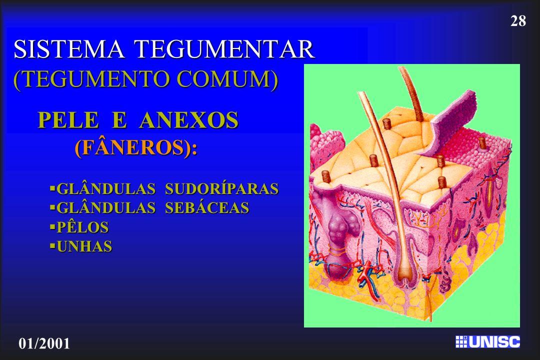28 01/2001 SISTEMA TEGUMENTAR (TEGUMENTO COMUM) PELE E ANEXOS (FÂNEROS): GLÂNDULAS SUDORÍPARAS GLÂNDULAS SUDORÍPARAS GLÂNDULAS SEBÁCEAS GLÂNDULAS SEBÁ