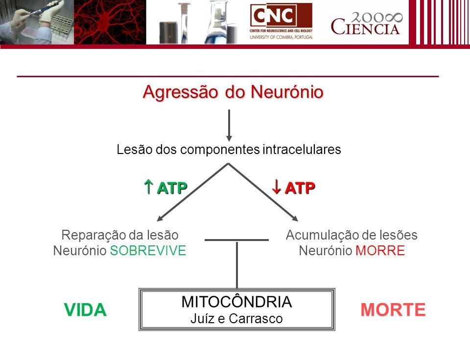 Agressão do Neurónio Lesão dos componentes intracelulares Reparação da lesão Neurónio SOBREVIVE Acumulação de lesões Neurónio MORRE MITOCÔNDRIA Juíz e