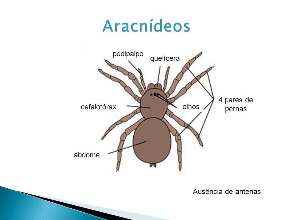 abdome cefalotórax pedipalpo quelícera 4 pares de pernas olhos Ausência de antenas