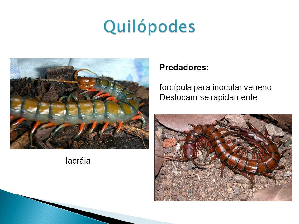 Predadores: forcípula para inocular veneno Deslocam-se rapidamente lacráia