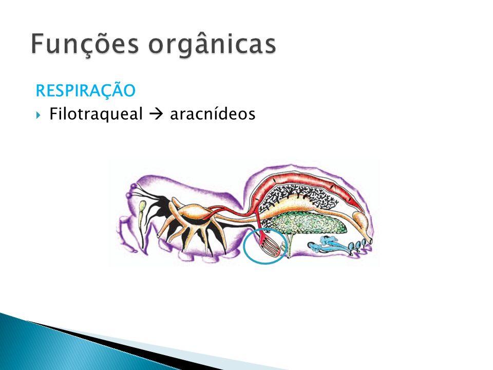 RESPIRAÇÃO Filotraqueal aracnídeos Funções orgânicas