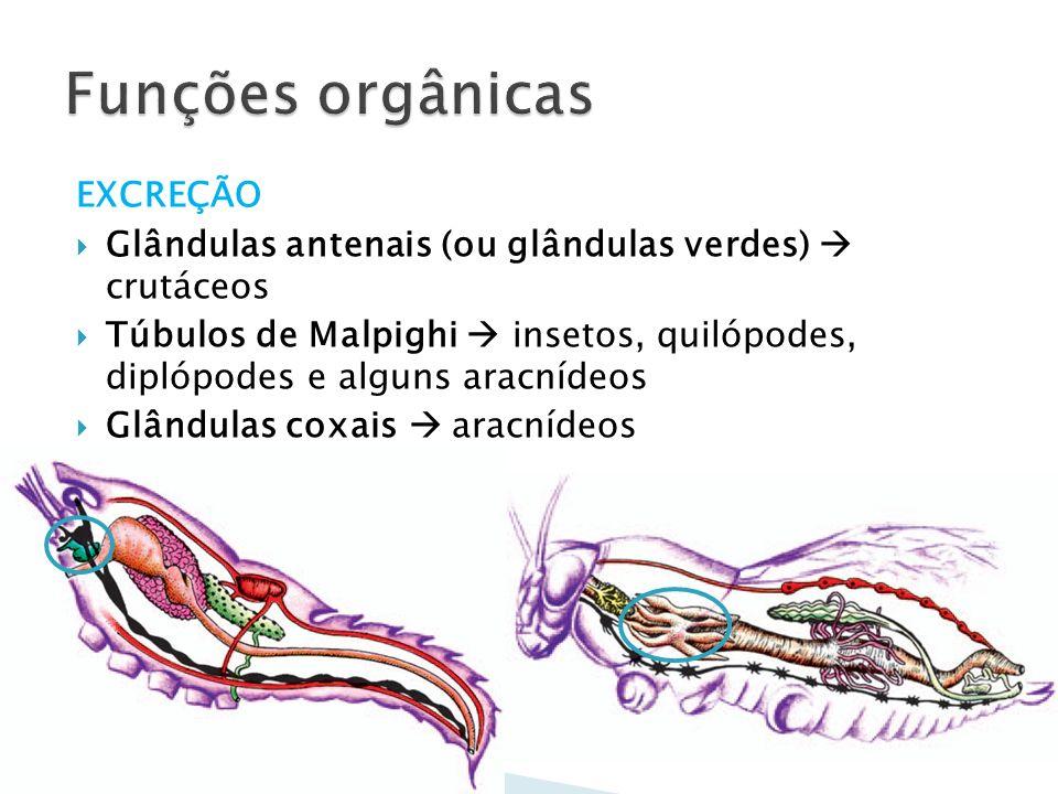 EXCREÇÃO Glândulas antenais (ou glândulas verdes) crutáceos Túbulos de Malpighi insetos, quilópodes, diplópodes e alguns aracnídeos Glândulas coxais a