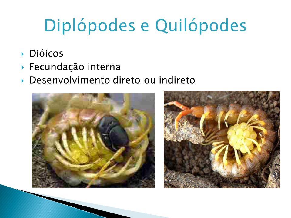 Diplópodes e Quilópodes Dióicos Fecundação interna Desenvolvimento direto ou indireto