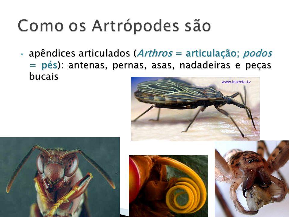 apêndices articulados (Arthros = articulação; podos = pés): antenas, pernas, asas, nadadeiras e peças bucais apêndices articulados (Arthros = articula