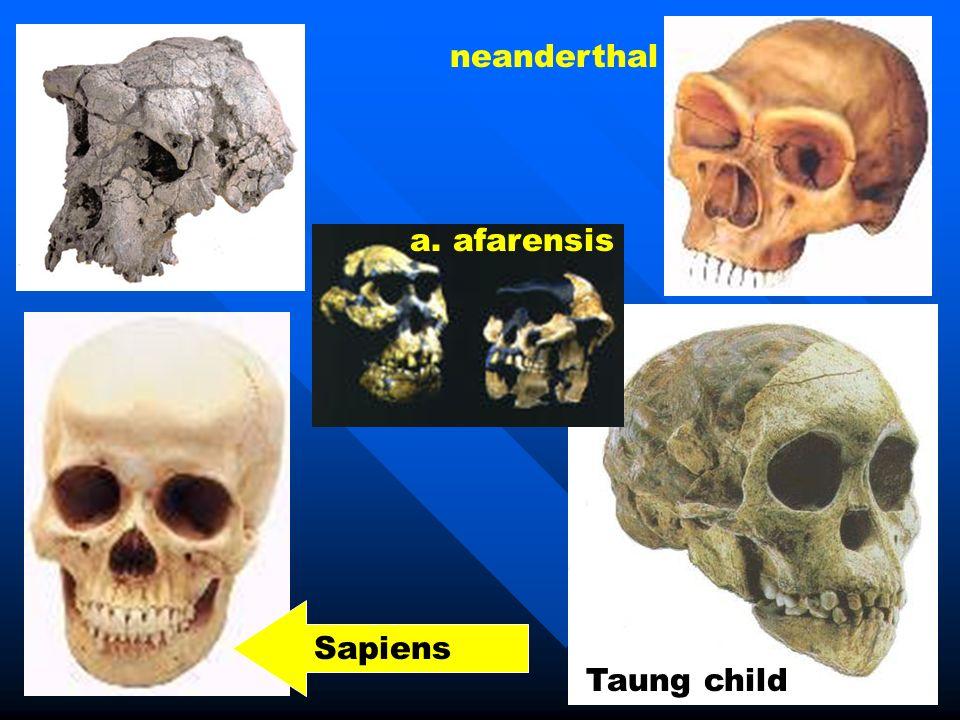 Taung child Sapiens neanderthal a. afarensis